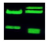 StainIN GREEN Nucleic Acid Stain